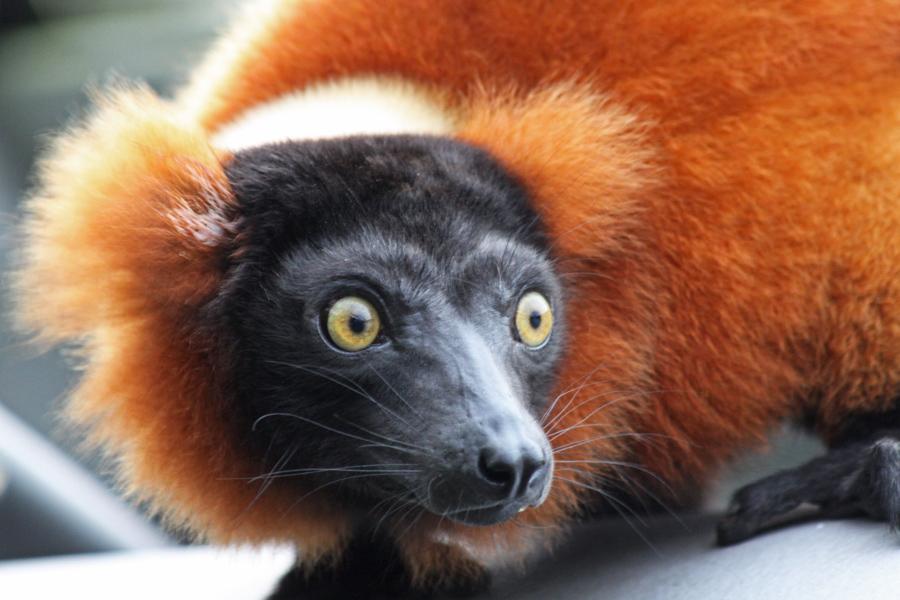 1211 lemur11