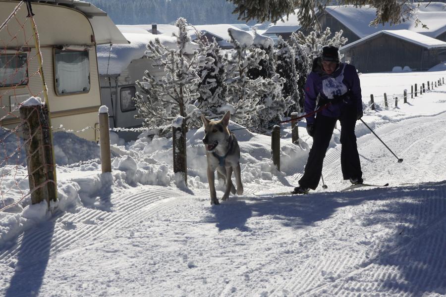 Beim Skijöring wird ein einzelner Hund vor einen Langläufer eingespannt