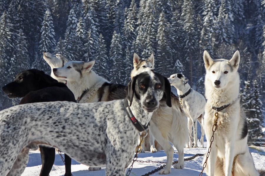 Schlittenhunde in den verschiedensten Formen und Farben