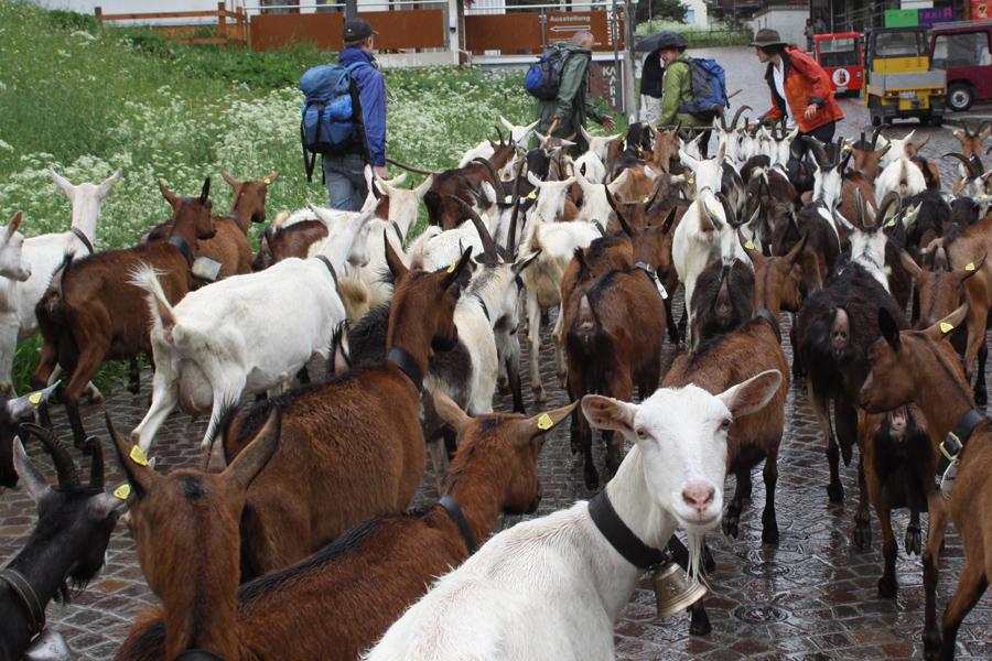 Saas Fee von Ziegen erobert