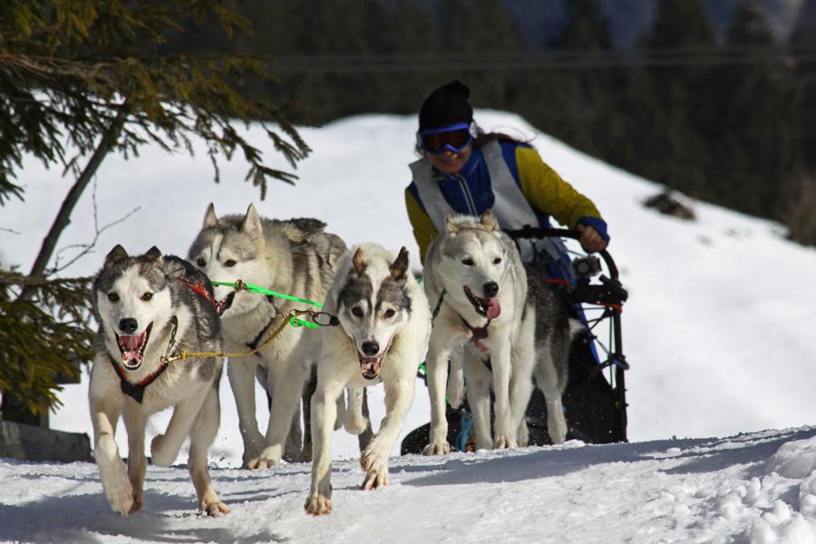 Schlittenhunde-WM in Kandersteg