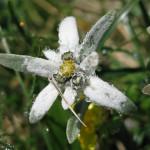 Bergblumen Sample