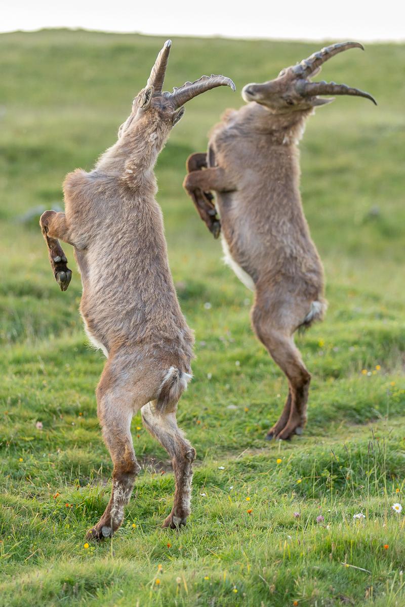 Tanz der Steinboecke